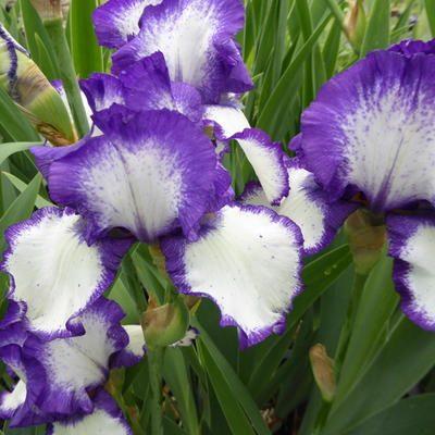 Iris germanica 'Loop the Loop' -
