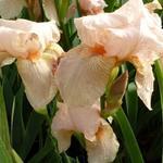 Iris germanica 'Pink Horizon' - Baardiris, zwaardiris - Iris germanica 'Pink Horizon'