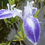 Iris laevigata 'Mottled Beauty' - Japanse iris - Iris laevigata 'Mottled Beauty'