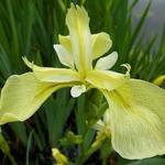 Iris pseudacorus 'Bastardii' - Iris pseudacorus 'Bastardii' - Moerasiris, Gele lis