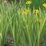 Moerasiris,Gele lis - Iris pseudacorus ' Variegata'
