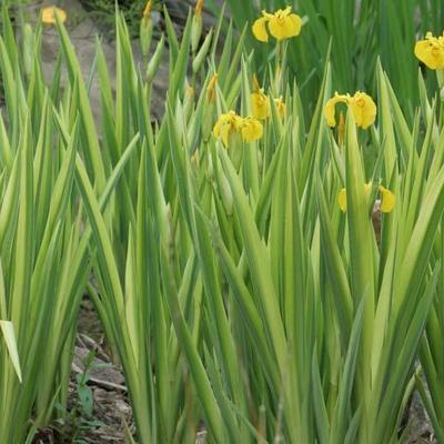 Iris pseudacorus ' Variegata'  - Moerasiris,Gele lis - Iris pseudacorus ' Variegata'