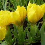 Iris pumila 'Brassie' - Zwaardlelie - Iris pumila 'Brassie'