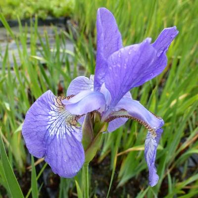 Iris setosa - Borstelige iris - Iris setosa