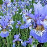 Iris sibirica 'Persimmon' - Siberische lis - Iris sibirica 'Persimmon'