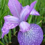 Iris sibirica 'Sparkling Rose' - Siberische lis - Iris sibirica 'Sparkling Rose'