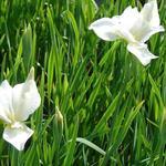 Iris sibirica 'White Swirl' - Siberische lis - Iris sibirica 'White Swirl'