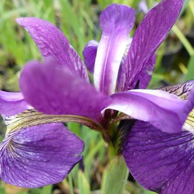 Iris versicolor 'Kermesina' -