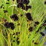 Juncus ensifolius  - Dwergrus, zwaardrus - Juncus ensifolius