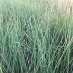 Juncus inflexus - Zeegroene rus, Blauwe bies - Juncus inflexus