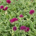 Knautia macedonica 'Thunder and Lightning' - Weduwebloem, Beemdkroon