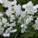 Lathyrus latifolius 'White Pearl' - Lathyrus latifolius 'White Pearl' - Siererwt