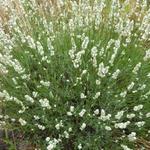 Lavandula angustifolia 'Alba' - Lavendel - Lavandula angustifolia 'Alba'