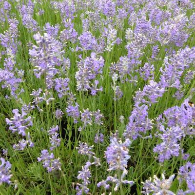 Lavandula angustifolia 'Brabants Lust' - Lavendel - Lavandula angustifolia 'Brabants Lust'