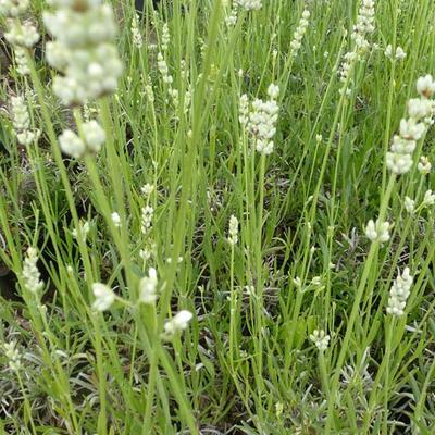 Lavandula angustifolia 'Hidcote White' - Lavendel - Lavandula angustifolia 'Hidcote White'