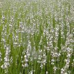 Lavendel - Lavandula x intermedia 'Edelweiss'
