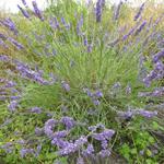Lavendel - Lavandula x intermedia 'Grosso'