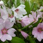 Struikmalva - Lavatera x clementii 'Barnsley