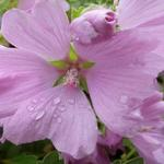 Malvastruik, Struikmalva - Lavatera x clementii 'Candy Floss'