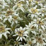 Leontopodium alpinum - Edelweiss - Leontopodium alpinum