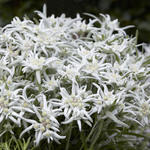 Leontopodium alpinum 'Blossom of Snow' - Edelweiss
