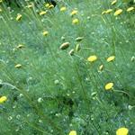 Leptinella hispida - Koperknoopje, Speldenkussenplant - Leptinella hispida