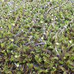 Leptinella squalida - Koperknoopje - Leptinella squalida