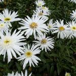 Leucanthemum 'Christine Hagemann' - Margriet, Reuzenmargriet, Grootbloemige margriet - Leucanthemum 'Christine Hagemann'