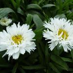 Leucanthemum x superbum 'Laspider' - Margriet - Leucanthemum x superbum 'Laspider'
