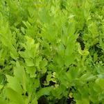 Lavas, Maggiplant, Franse selder - Levisticum officinalis