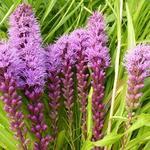 Liatris spicata 'Floristan Violett' - Liatris spicata 'Floristan Violett' - Lampepoetser