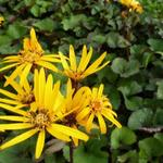 kruiskruid, Tongkruiskruid - Ligularia dentata 'Othello'