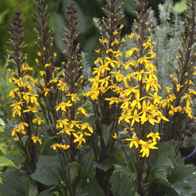 Ligularia 'Bottle Rocket' - Kruiskruid