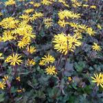 Ligularia dentata 'Osiris Cafe Noir' - Kruiskruid