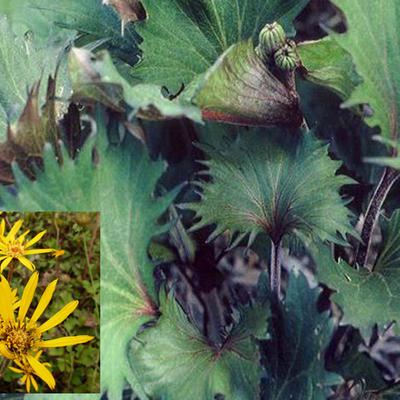Ligularia dentata 'Osiris Fantaisie' - Kruiskruid