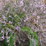 Zeelavendel / lamsoor / statice - Limonium platyphyllum