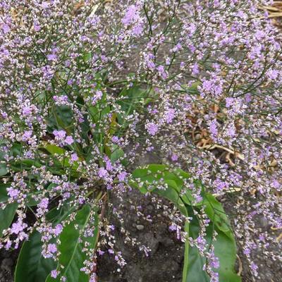 Limonium platyphyllum - Zeelavendel / lamsoor / statice - Limonium platyphyllum
