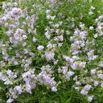 Linaria anticaria 'Antique Silver' - Linaria anticaria 'Antique Silver' - Vlasleeuwbek