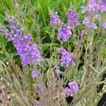 Linaria purpurea - Vlasleeuwebek - Linaria purpurea