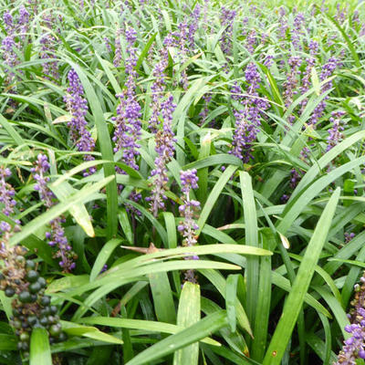 Liriope muscari 'Evergreen Giant' - Leliegras - Liriope muscari 'Evergreen Giant'