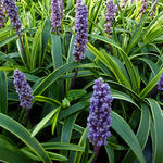 Liriope muscari 'Gold Band' - Leliegras