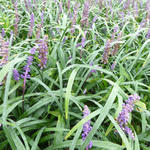 Liriope muscari 'Royal Purple' - Leliegras - Liriope muscari 'Royal Purple'