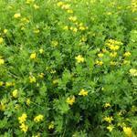 Lotus corniculatus subsp. tenuifolius - Lotus corniculatus subsp. tenuifolius - Smalle  rolklaver