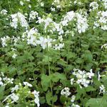 Lunaria annua 'Albiflora' - Judaspenning - Lunaria annua 'Albiflora'