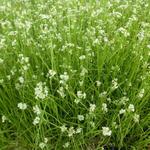 Luzula nivea - Sneeuwwitte veldbies - Luzula nivea