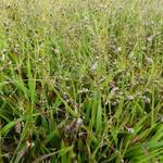 Luzula pilosa - Ruige veldbies - Luzula pilosa