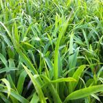 Luzula sylvatica - Grote veldbies - Luzula sylvatica