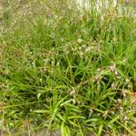 Luzula sylvatica 'Bromel' - Grote veldbies - Luzula sylvatica 'Bromel'