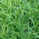 Luzula sylvatica 'Onderbos' - Veldbies - Luzula sylvatica 'Onderbos'