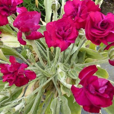 Lychnis coronaria 'Gardeners' World' -